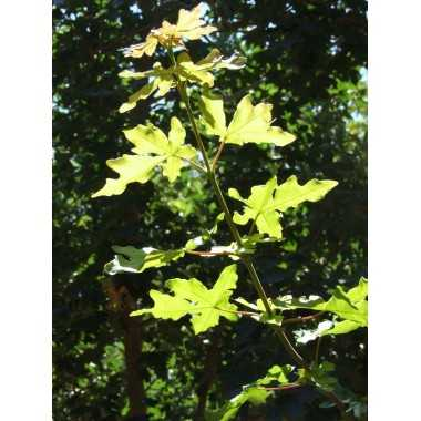 Acer campestre - Arce común