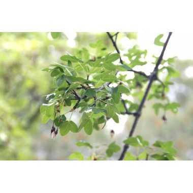 Acer monspessulanum - Arce de Montpellier
