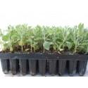 Halimium atriplicifolium - Jara Blanca