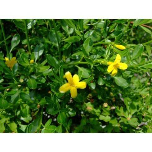 Jasminum fruticans - Jazmín silvestre