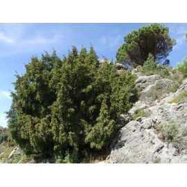 Juniperus phoenicea - Sabina mora