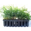 Koelreuteria paniculata - Jabonero de China