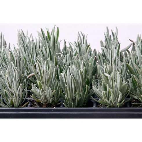 Lavandula latifolia - Alhucema Lavanda