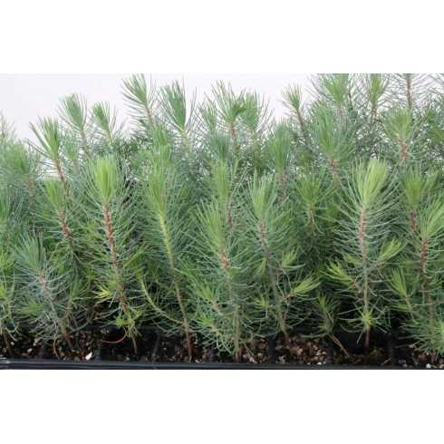 Pinus halepensis - Pino carrasco