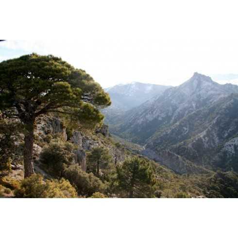 Pinus pinaster - Pino resinero Pino marítimo