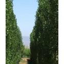 Populus nigra - Chopo