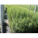 Prunus spinosa - Endrino