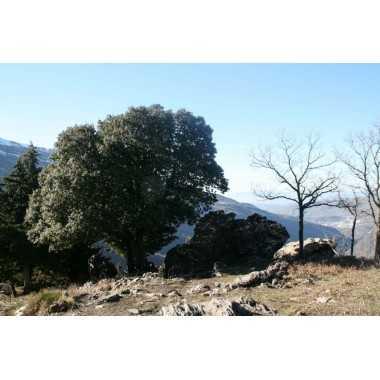 Quercus ilex ballota - Encina de bellotas dulces