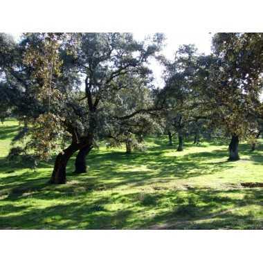 Quercus suber - Alcornoque