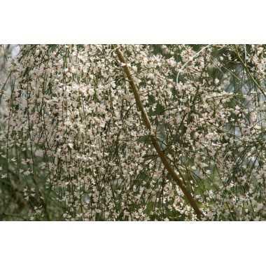 Retama monosperma - Retama blanca