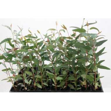 Eucaliptus camaldulensis - Eucalipto rojo
