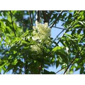 Fraxinus ornus - Fresno florido
