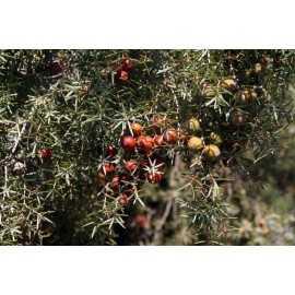 Juniperus oxycedrus - Enebro de miera