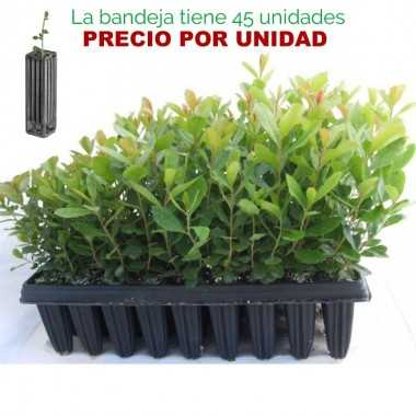 Arbutus unedo - Madroño