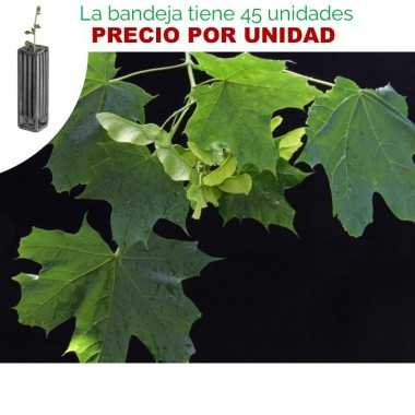 Acer platanoides - Arce real