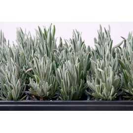 Lavandula latifolia - Alhucema Lavanda (Bandeja 45 unidades)