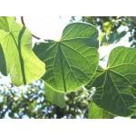 Cercis siliquastrum - Árbol del amor (Bandeja 45 Unidades)