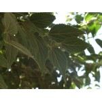 Celtis australis - Almez (Bandeja 45 Unidades)