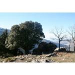 Quercus ilex ballota - Encina de bellotas dulces (bandeja 45 unidades)