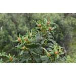 Cistus ladanifer - Jara pringosa (Bandeja 45 unidades)